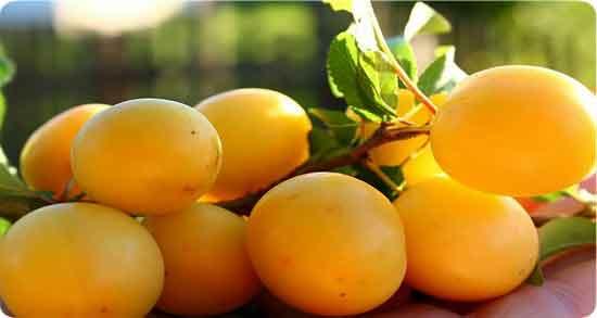 طبع آلو زرد ؛ آشنایی با خاصیت درمانی و طبیعت آلو زرد