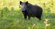 مضرات گوشت گراز وحشی ؛ همه چیز درباره عوارض و مضرات خوردن گوشت گراز وحشی