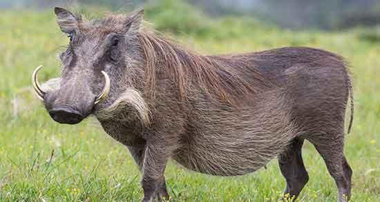 گوشت گراز حلال یا حرام ؛ خوردن گوشت گراز چه حکمی دارد؟