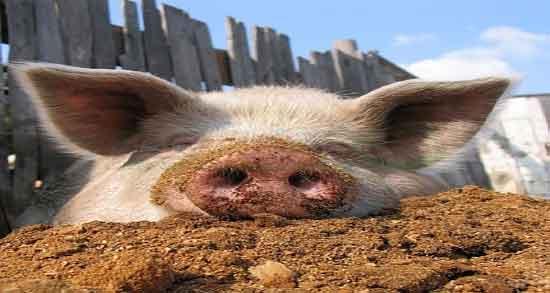 عکس گوشت خوک ؛ تصویر گوشت خوک سرخ شده برای وعده غذا