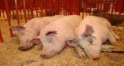 مضرات گوشت خوک از نظر علمی ؛ عوارض گوشت خوک از نظر علمی