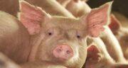 آیا گوشت خوک کرم دارد ؛ چگونه کرم گوشت خوک را از بین ببریم