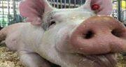 چرا گوشت خوک نخوریم؟ ؛ علت نخوردن گوشت خوک در زنان باردار
