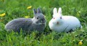 فواید گوشت خرگوش نر ؛ خواص گوشت خرگوش نر برای نازایی زنان