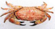 گوشت خرچنگ حلال است یا حرام ؛ حکم گوشت خرچنگ در دین اسلام