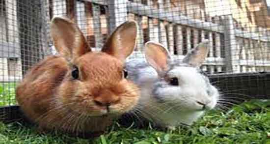 گوشت خرگوش حلاله ؛ ایا خوردن گوشت خرگوش نر برای مسلمان حلاله