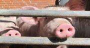 گوشت خوک برای زن باردار ؛ عوارض مصرف گوشت خوک برای زنان حامله