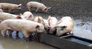گوشت خوک چرا حرام است ؛ چرا گوشت خوک حرام است از نظر علمی