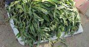 شنگ و سنگ کلیه ؛ دفع سنگ کلیه با مصرف دمنوش گیاه شنگ