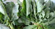 ترشک برای چی خوبه ؛ خاصیت گیاه ترشک برای بدن چیست