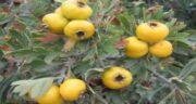 خواص زالزالک زرد ؛ حفظ سلامتی بدن با خوردن زالزالک زرد