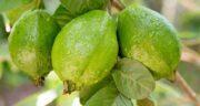 درخت گواوا (زیتون بندری) ؛ آشنایی کامل با درخت میوه گواوا یا زیتون بندری