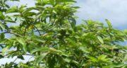 درخت گواوا ؛ اطلاعاتی کامل درباره درخت گواوا