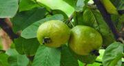 مصرف گواوا در بارداری ؛ آیا خوردن میوه گواوا برای زن باردار مفید است یا مضر؟