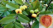 میوه گواوا و دیابت ؛ تاثیر خوردن میوه گواوا برای افراد دیابتی